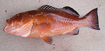 Red grouper: tangible or intangible?