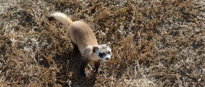 Black-footed ferret COVID-19 vaccination seems to be working,  Credit: Ryan Moehring / USFWS