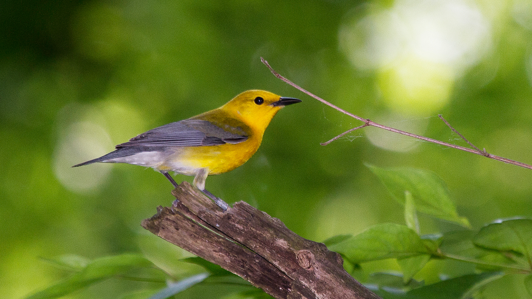 Female prothonotary warbler. Photo by Michael Jeffords