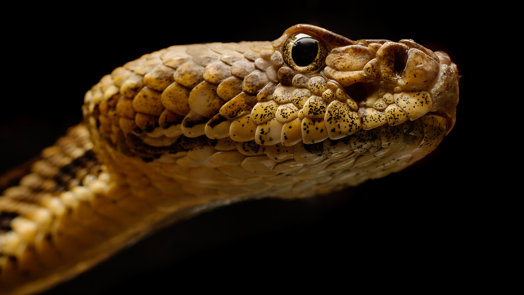 a timber rattler, one of more than 30 species of snakes susceptible to the fungal pathogen