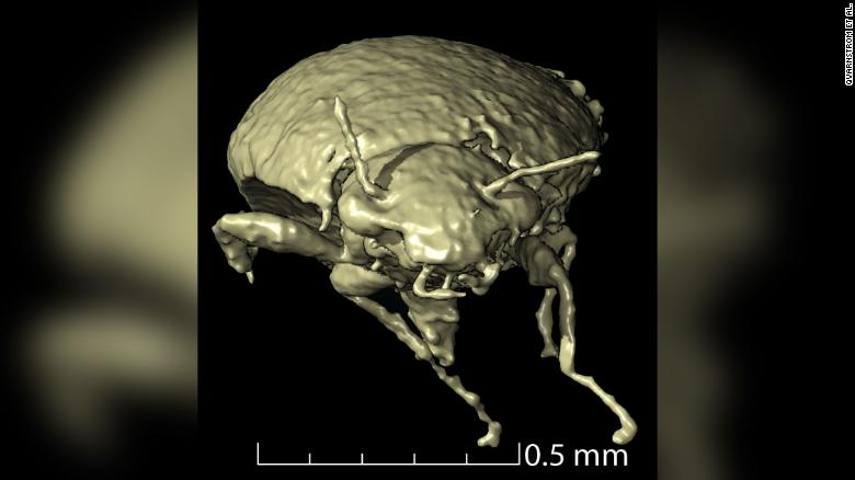 This is an anterior view of a 3D model of Triamyxa coprolithica, a 230-million-year-old, previously undiscovered beetle species.