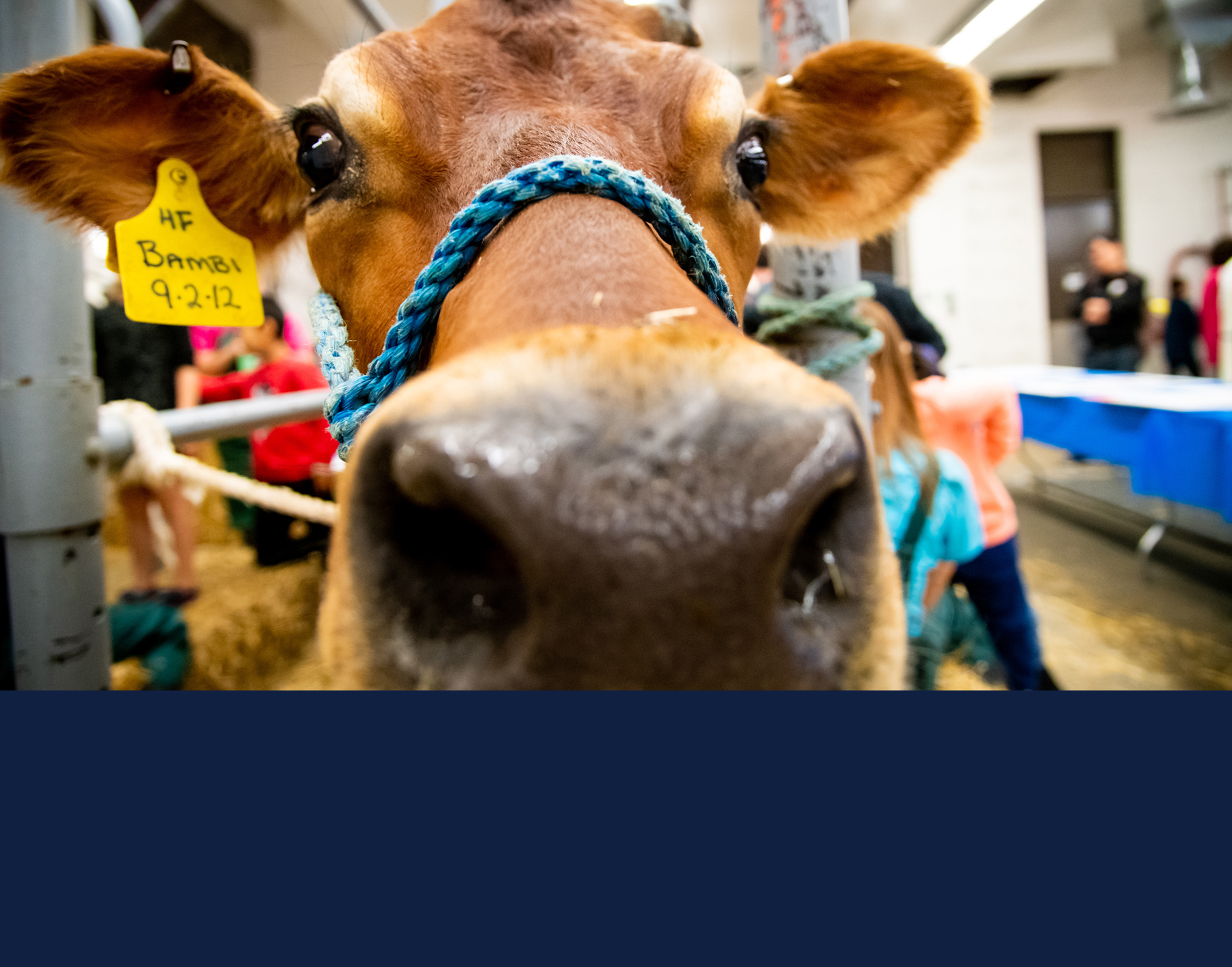 Bambi the cow, available for visits during Vet Med Open House on October 3. Photo courtesy College of Veterinary Medicine