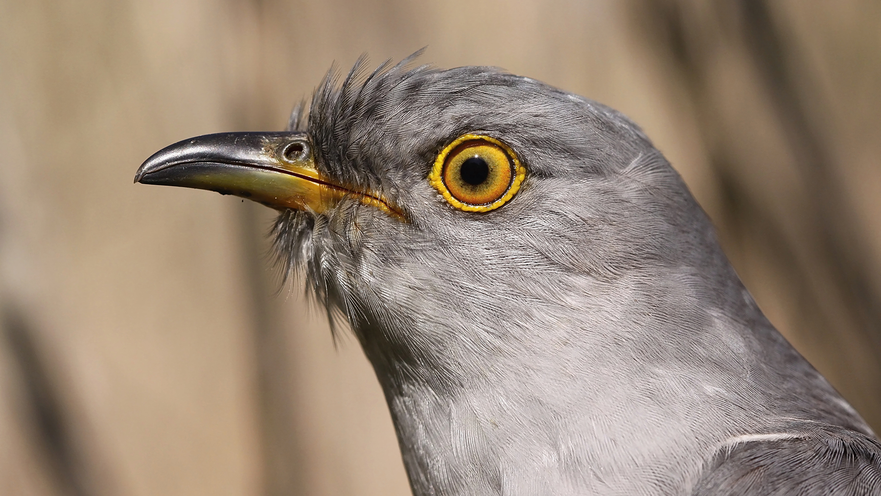 1.The common cuckoo lays its eggs in the nests of other bird species, burdening these hosts with the task of raising its young. Photo by Olda Mikulica