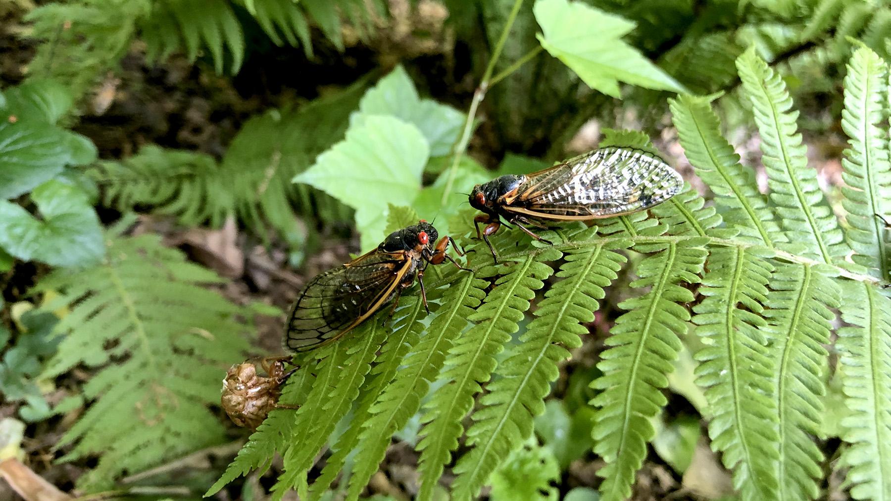 Two Brood X adults of the genus Magicicada rest on a fern leaf.  Photo by Marianne Alleyne