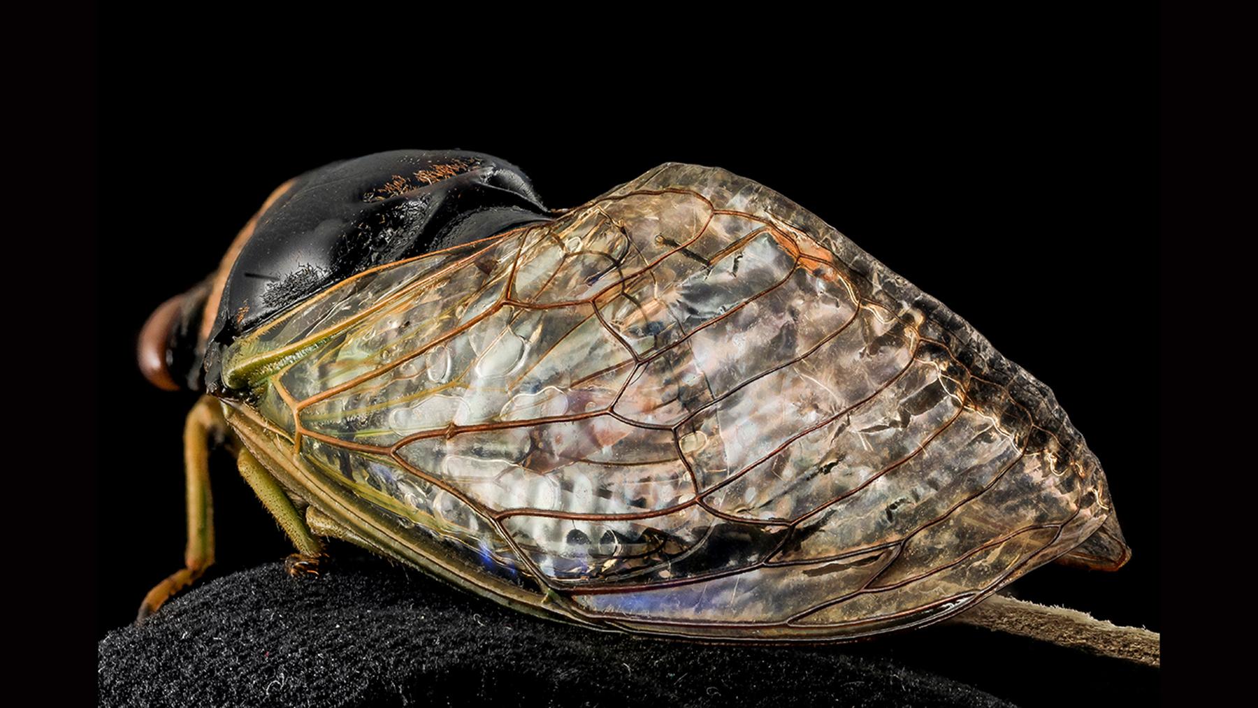 cicada close-up photo by Wayne Boo, U.S. Geological Survey