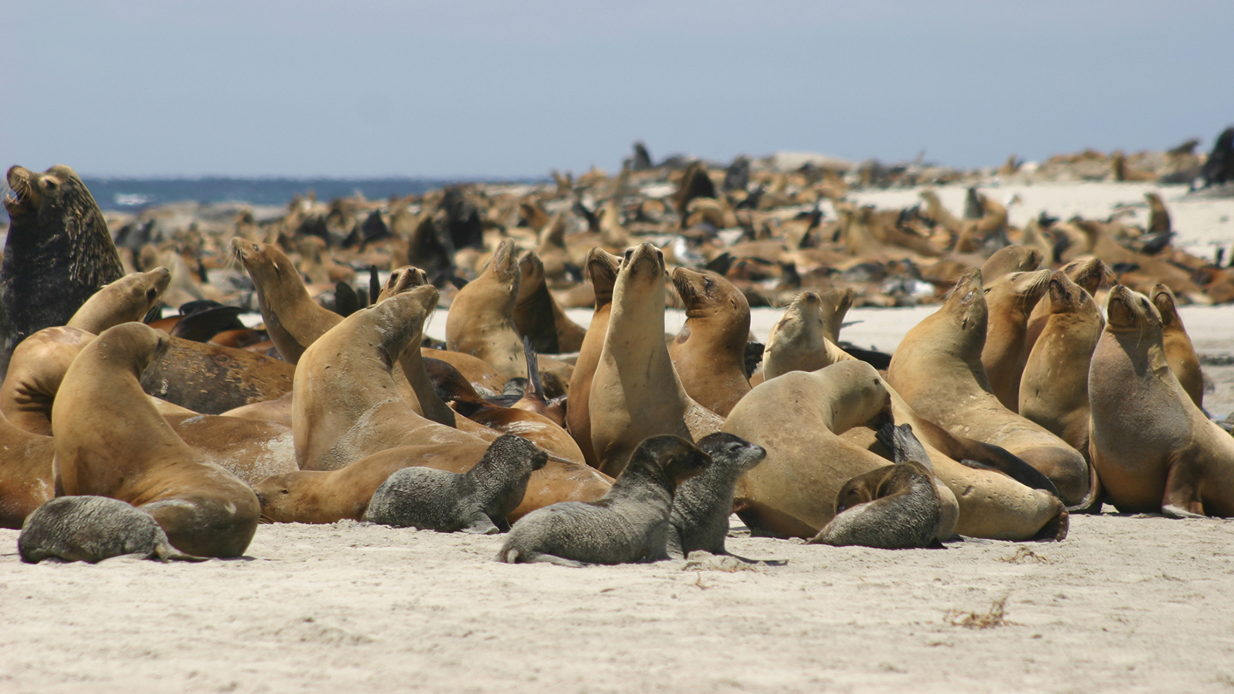 Thousands of sea lions gather on the breeding beaches of San Miguel Island, one of the Channel Islands off the coast of Southern California. Photo: Alaska Fisheries Science Center/NOAA Fisheries.