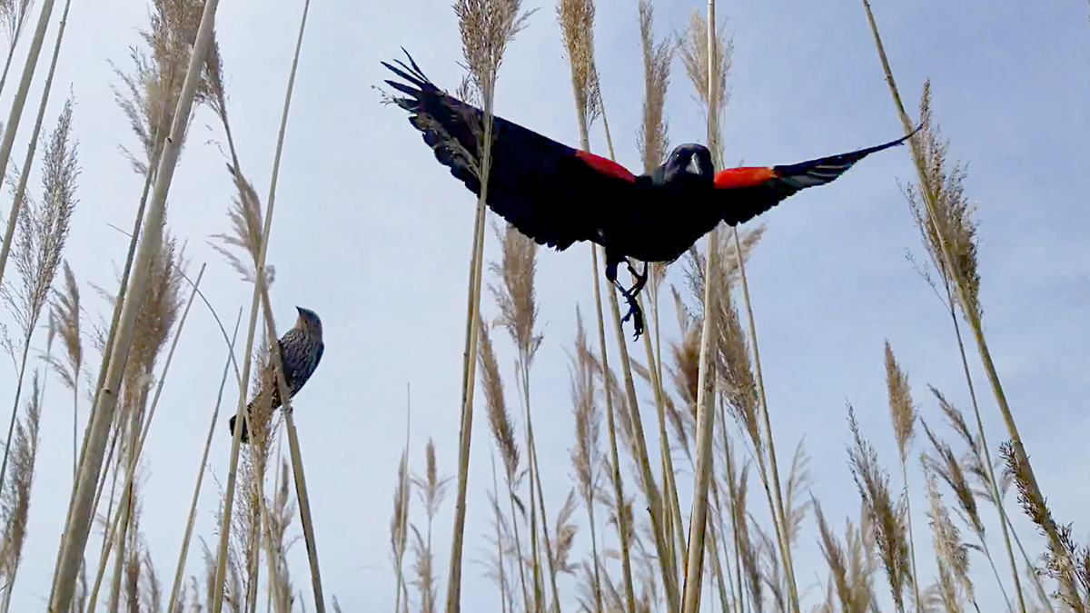 An airborne male red-winged blackbird swoops at the author while the female guards her nest.  Photo by Shelby Lawson