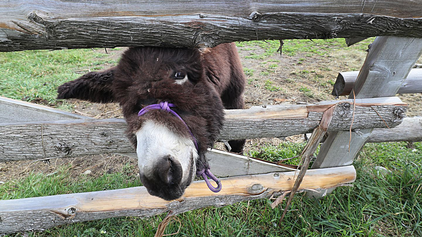 Hamilton, 10 weeks old here, hung out at Arnold's Rescue Center, a 90-acre refuge for displaced donkeys and horses that is Hamilton's home.SUZANNE KREITER/GLOBE STAFF