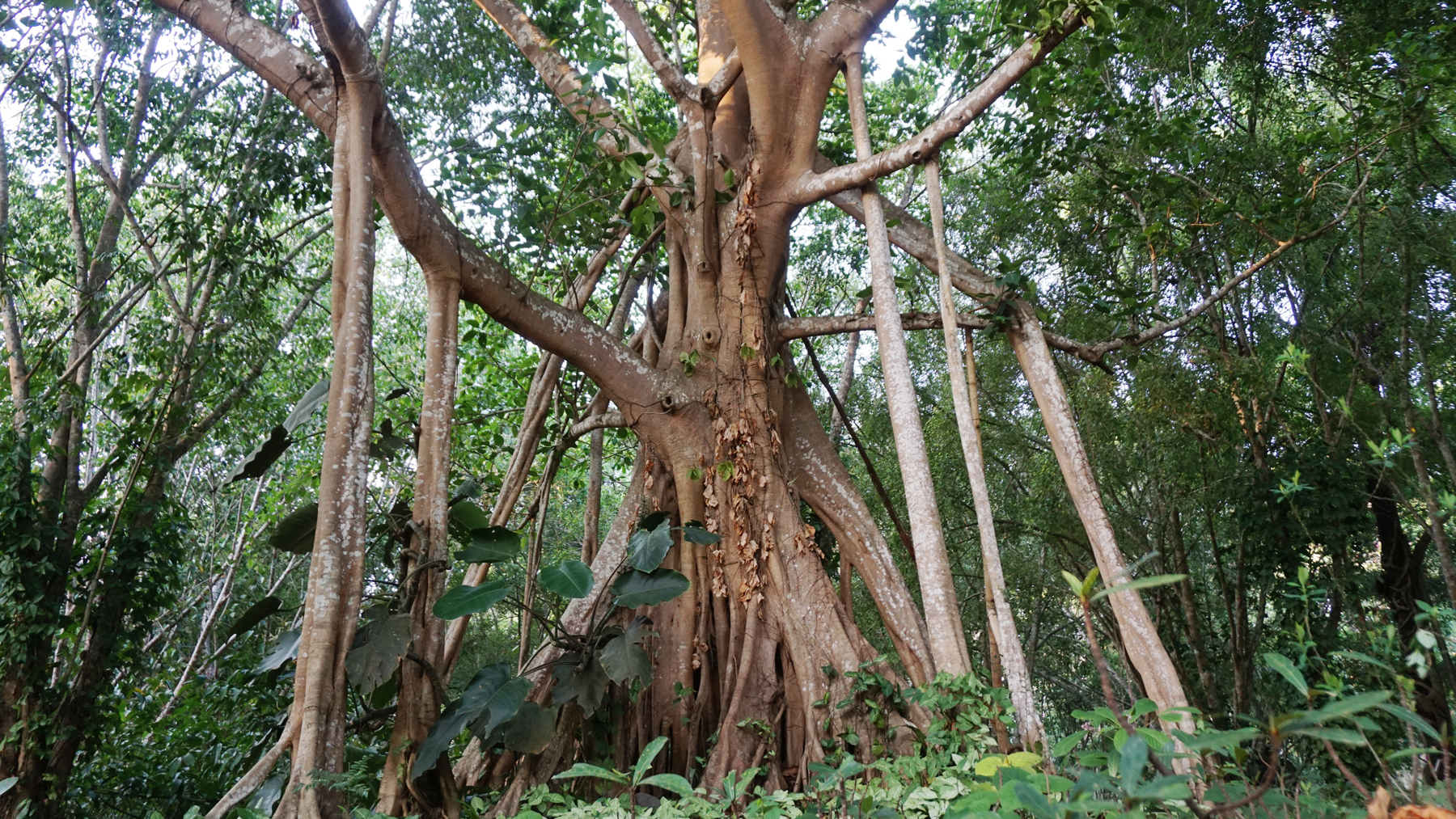 The banyan tree Ficus macrocarpa produces aerial roots that give it its distinctive look.Photo by Gang Wang