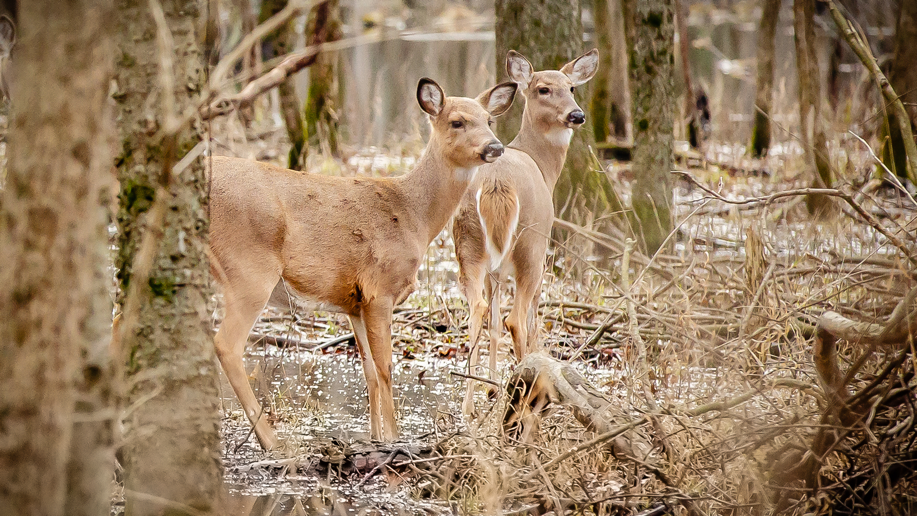 two deer in a woodland setting. Photo by L. B. Stauffer