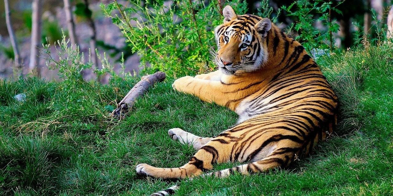Bengal tiger. Photo by Pixabay.com
