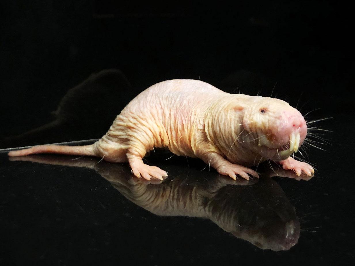 Naked mole rat. PHOTOGRAPH: BEN PASSARELLI/CALICO LIFE SCIENCES, LLC