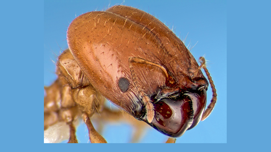 Soldier ants have giant heads with pincers that help them defend the colony. Photo by Alex Wild.