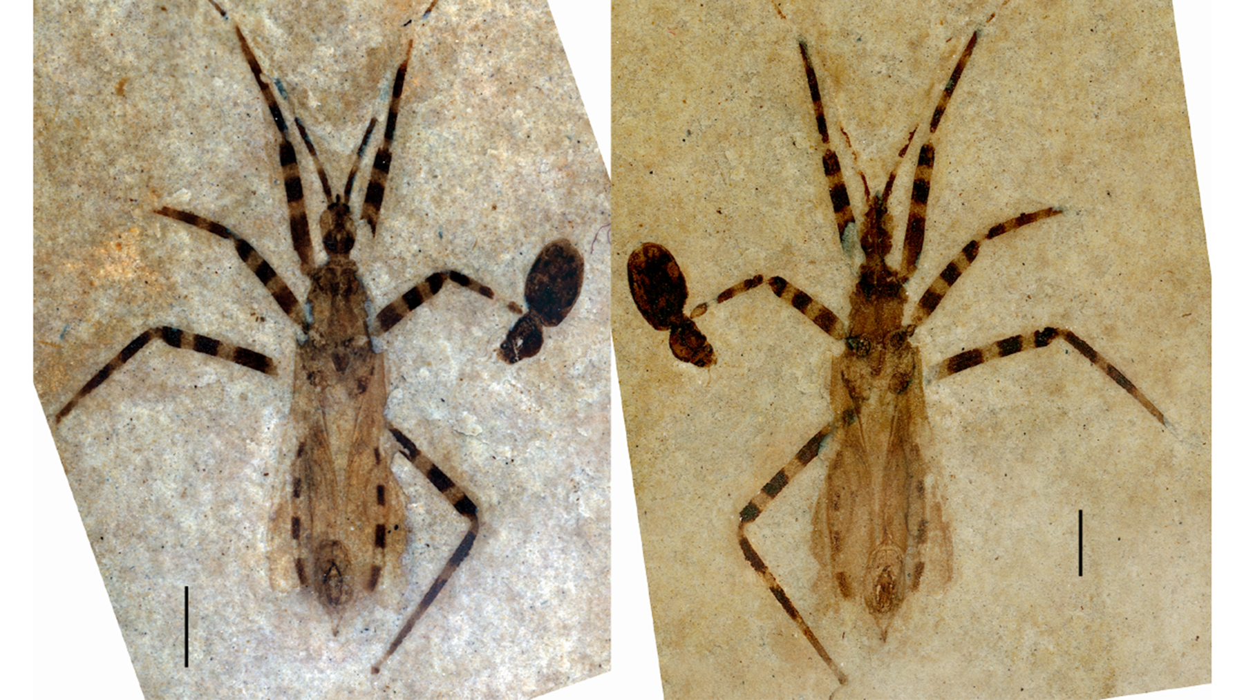 Assassin bug fossil. Photo by Daniel Swanson