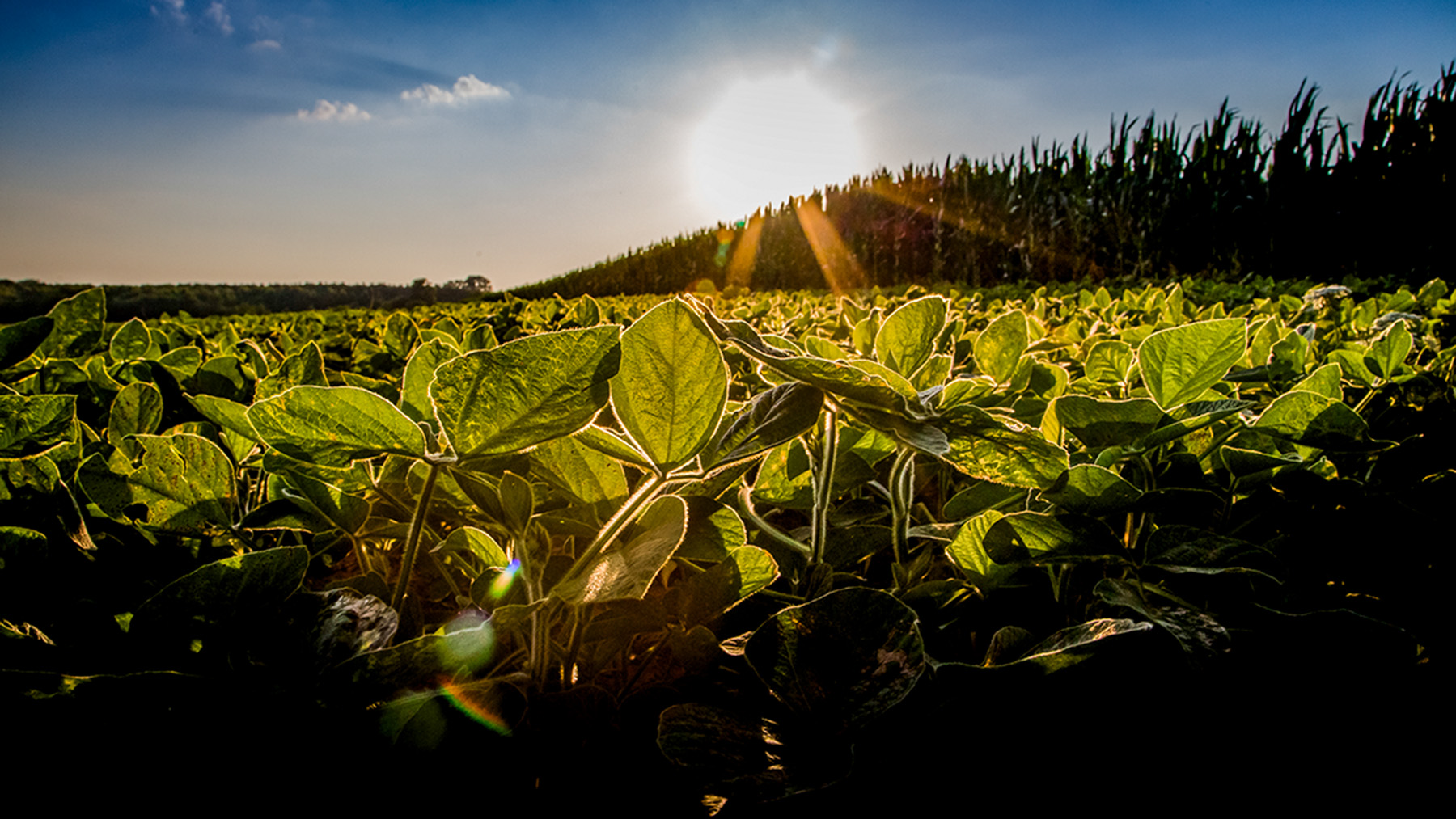 soybean crops in the sun