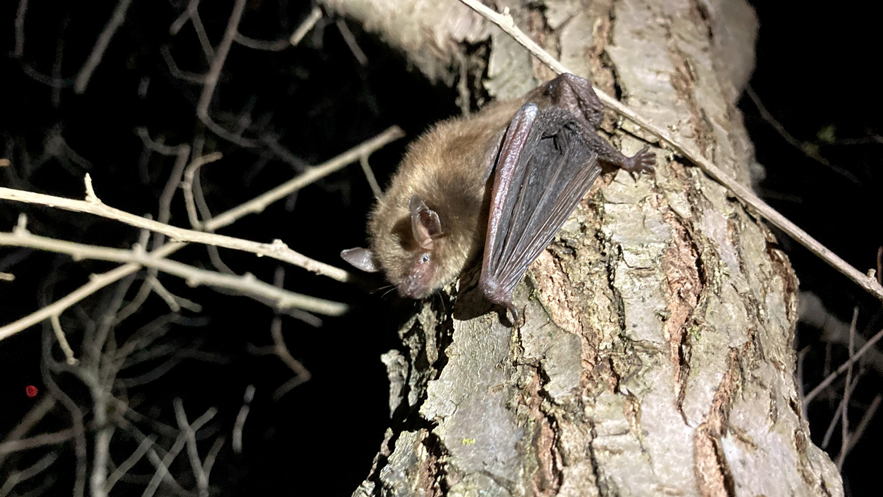 A released big brown bat, Eptesicus fuscus, clings to a tree. Photo by Sarah Gaulke