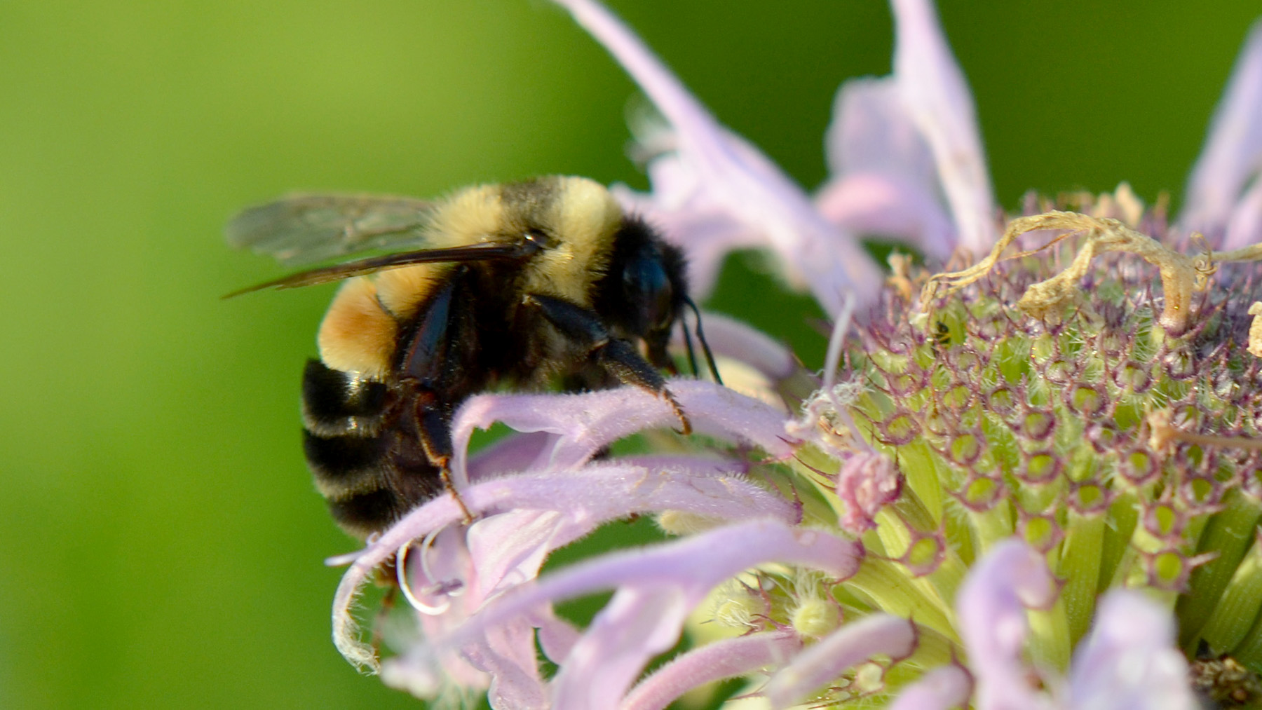 Photo of rusty patched bumble bee on a bee balm flower. Photo courtesy U.S. Fish & Wildlife Service