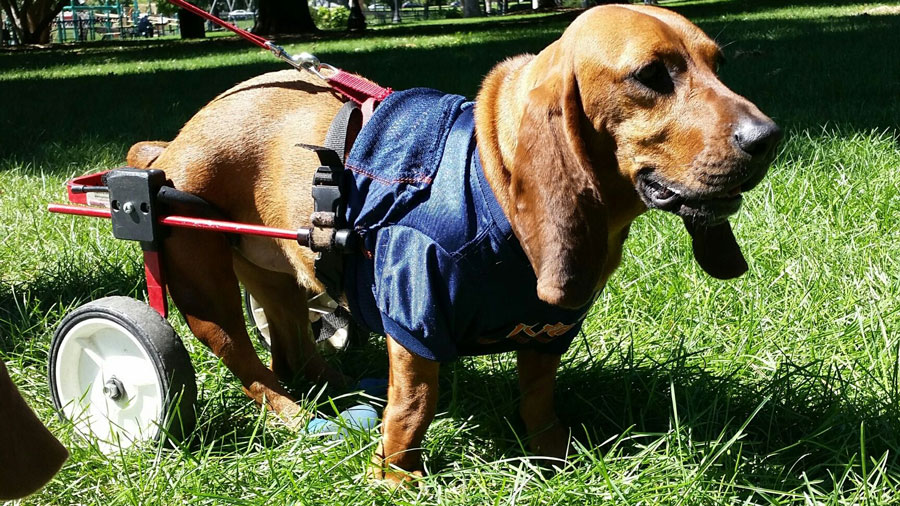 image of Daisy, a two year old Bassett Hound whose rear legs are paralyzed