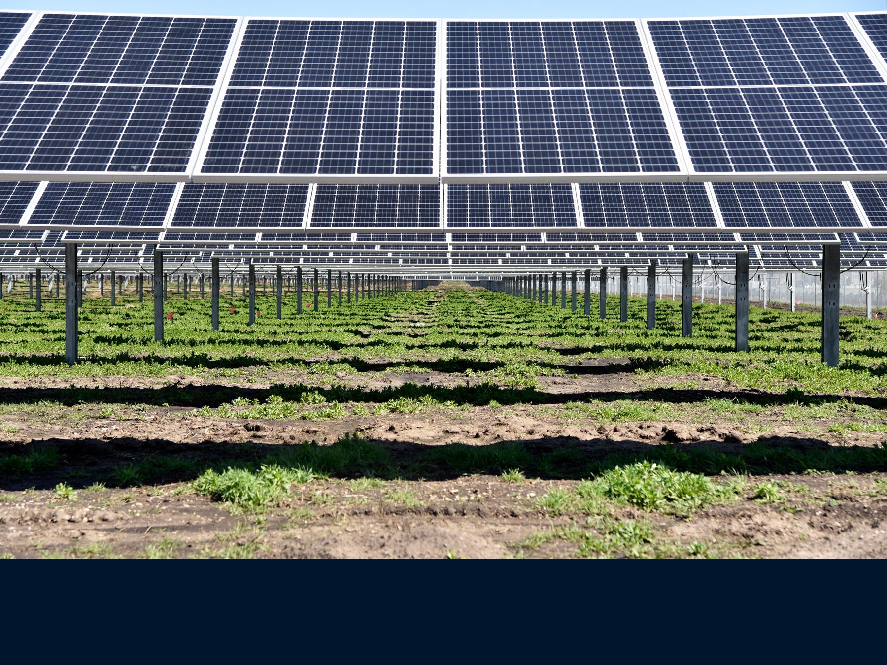 pollinator-friendly plants grow beneath a field of solar panels