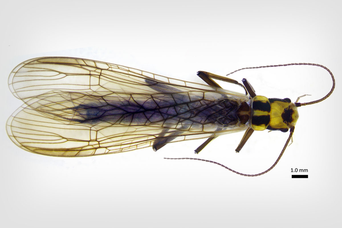 the newly classified stonefly