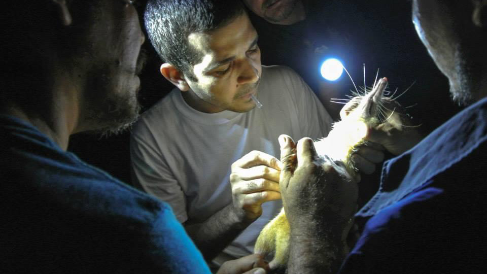A veterinarian draws blood from a solenodon for DNA samples