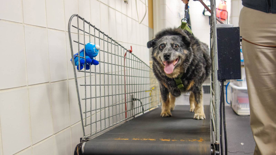 Olive, an obese dog, walking on an inclined treadmill