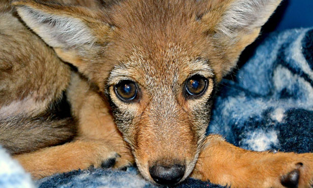 face of a coyote pup