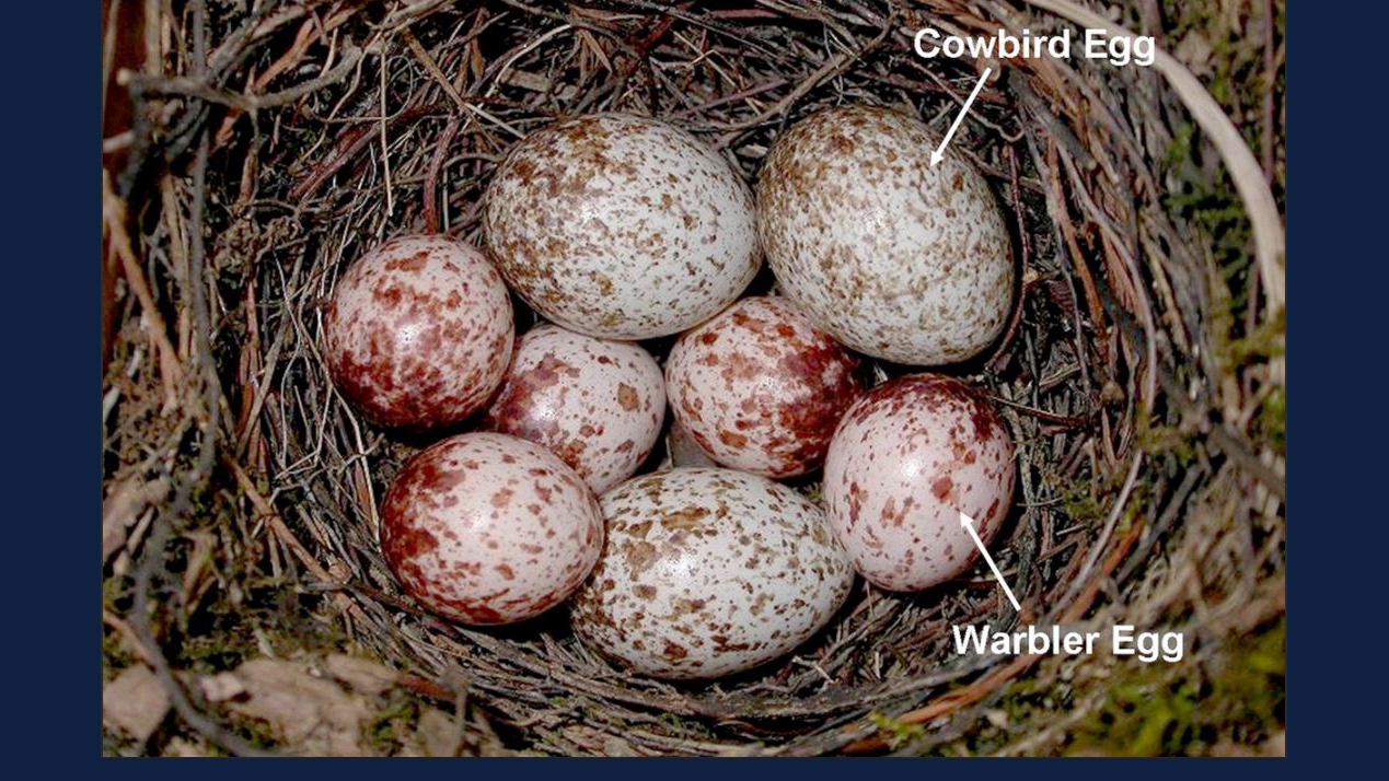 A brown-headed cowbird's three eggs in a prothonotary warbler's nest.  Photo by Jeffrey P. Hoover