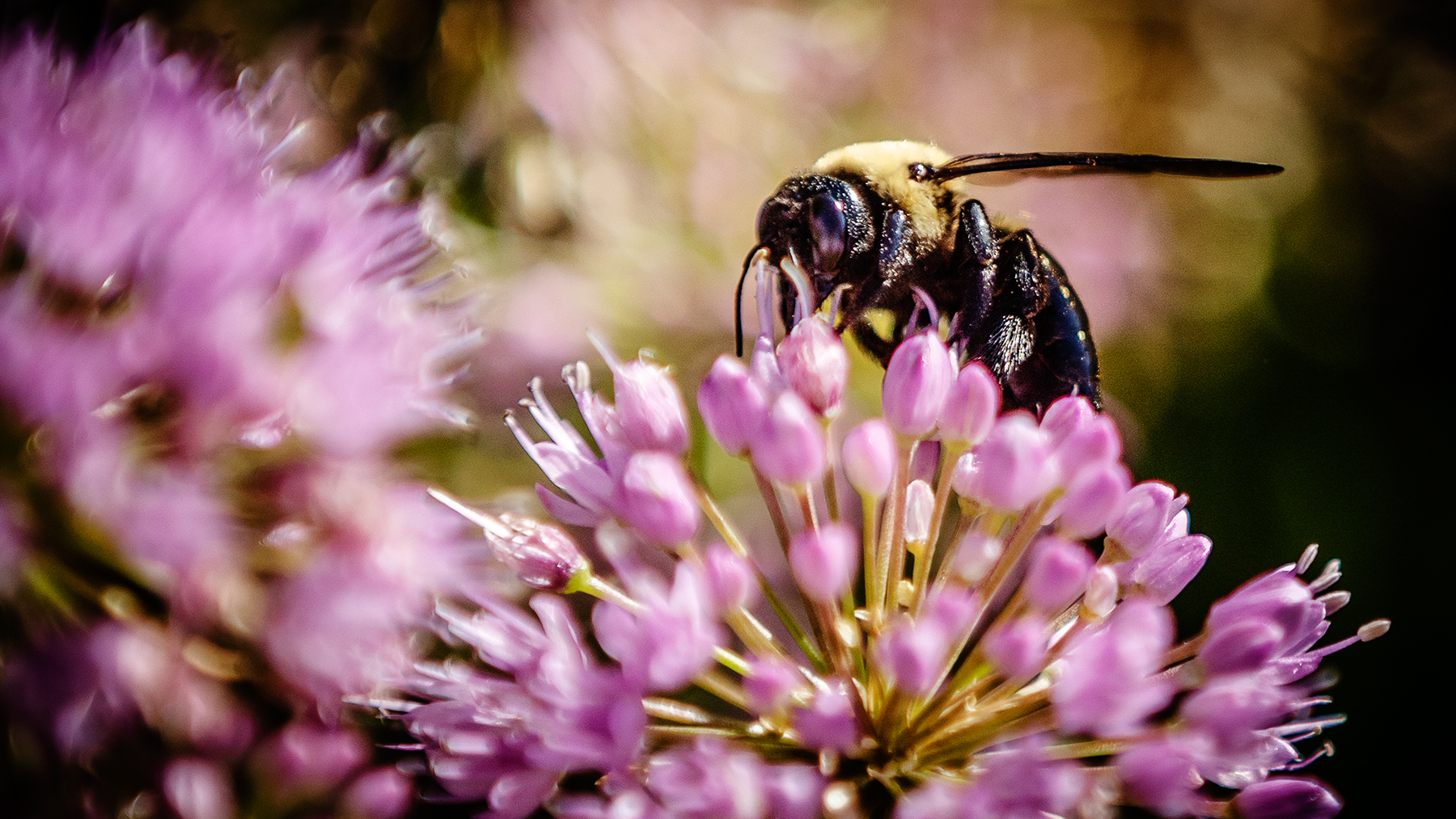 A bumble bee on the Illinois campus last summer. Photo by L. Brian Stauffer