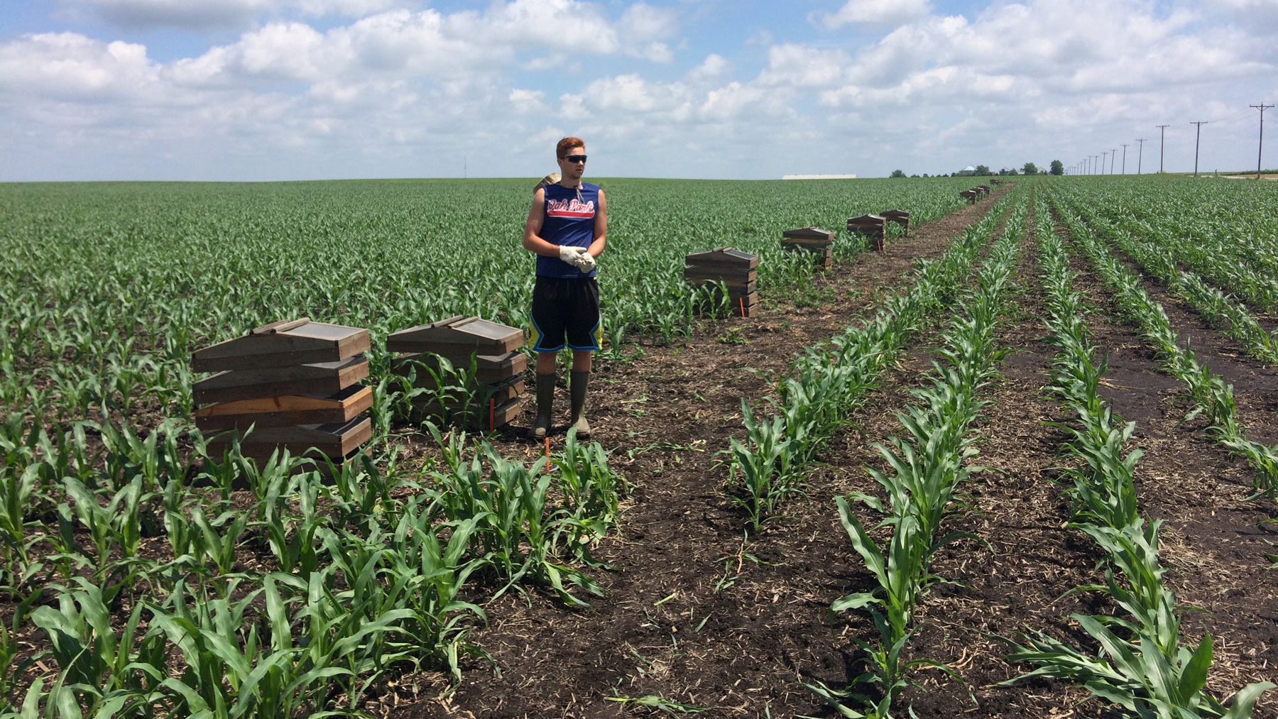 student placing traps for teh western corn rootworm beetles. Photo by Joseph Spencer