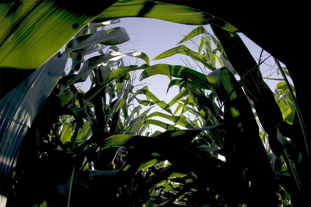 lower part of corn plants in a field. Photo by Don Hammerman