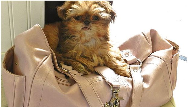 a tiny dog sitting on a p9ink purse. Photo provided by the College of Veterinary Medicine