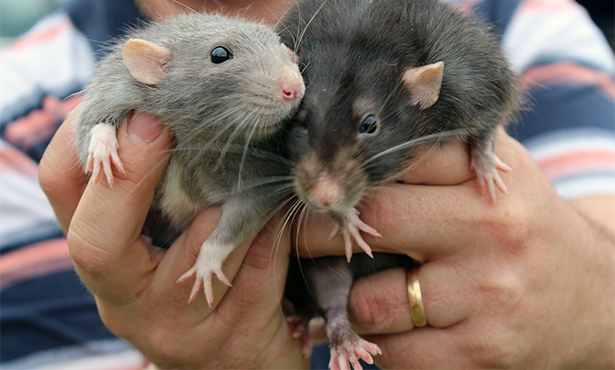pet rats in a handler's hands. Feature image from Pixabay.