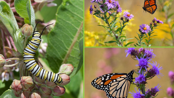 Monach butterflies and caterpillar, photos by Mike Jeffords and Susan Post
