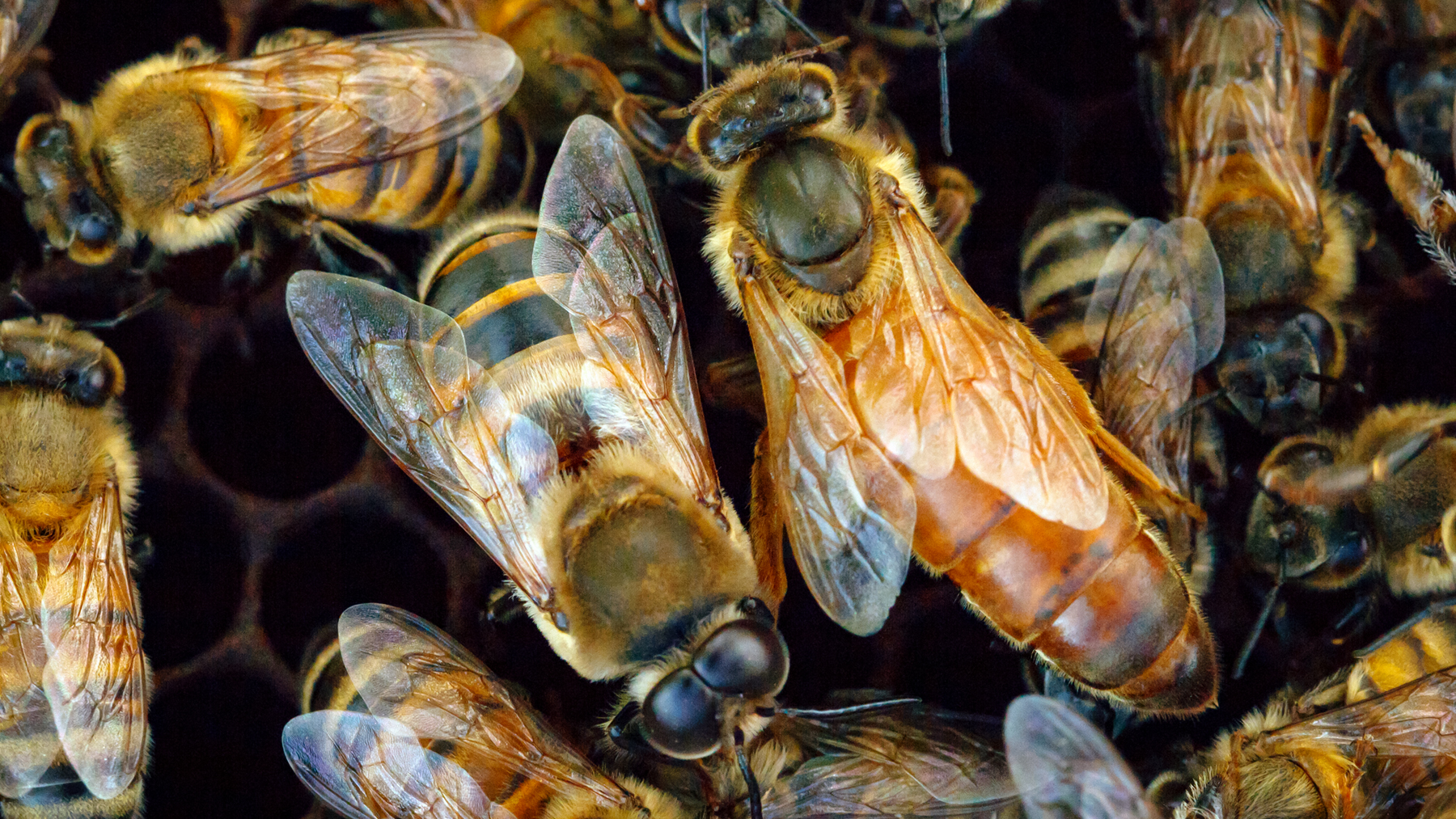 Researchers studied a unique population of gentle Africanized honey bees in Puerto Rico.  Photo by Manuel A. Giannoni-Guzman