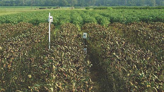 soybean rust in a field in Florida