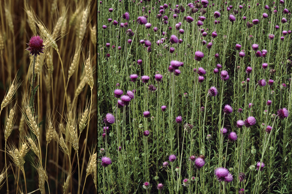 Lone musk thistle among wheat, and a field full of thistle. Photo by Michael Jeffords