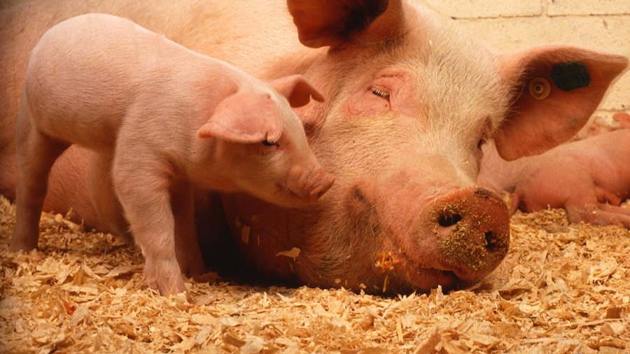 Sow and piglets. Photo by USDA
