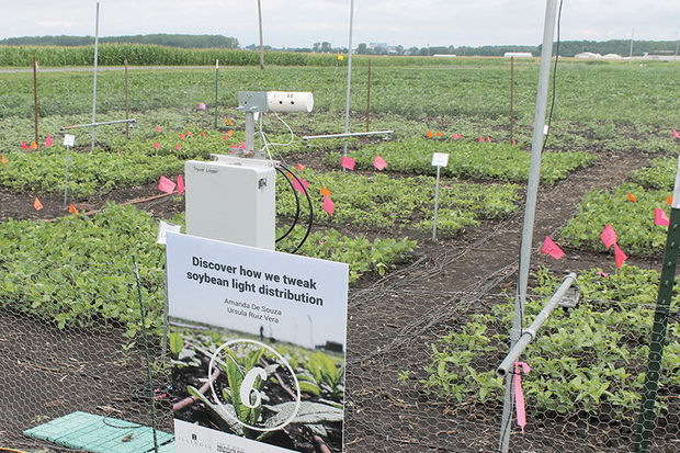 soybeans growing at a U of I research facility