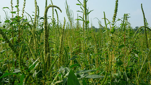 palmer amaranth, one of the production-robbing weeds developing resistance to available herbicides