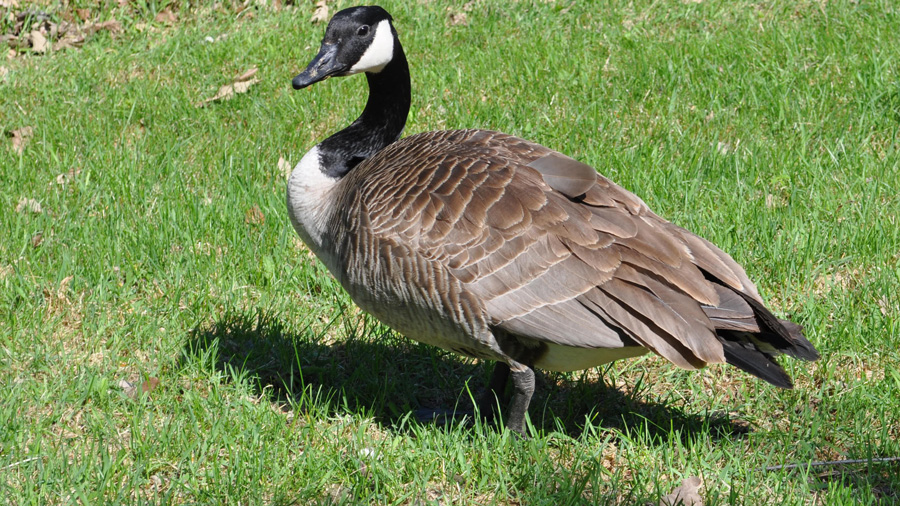 Canada goose image from Wiki Commons