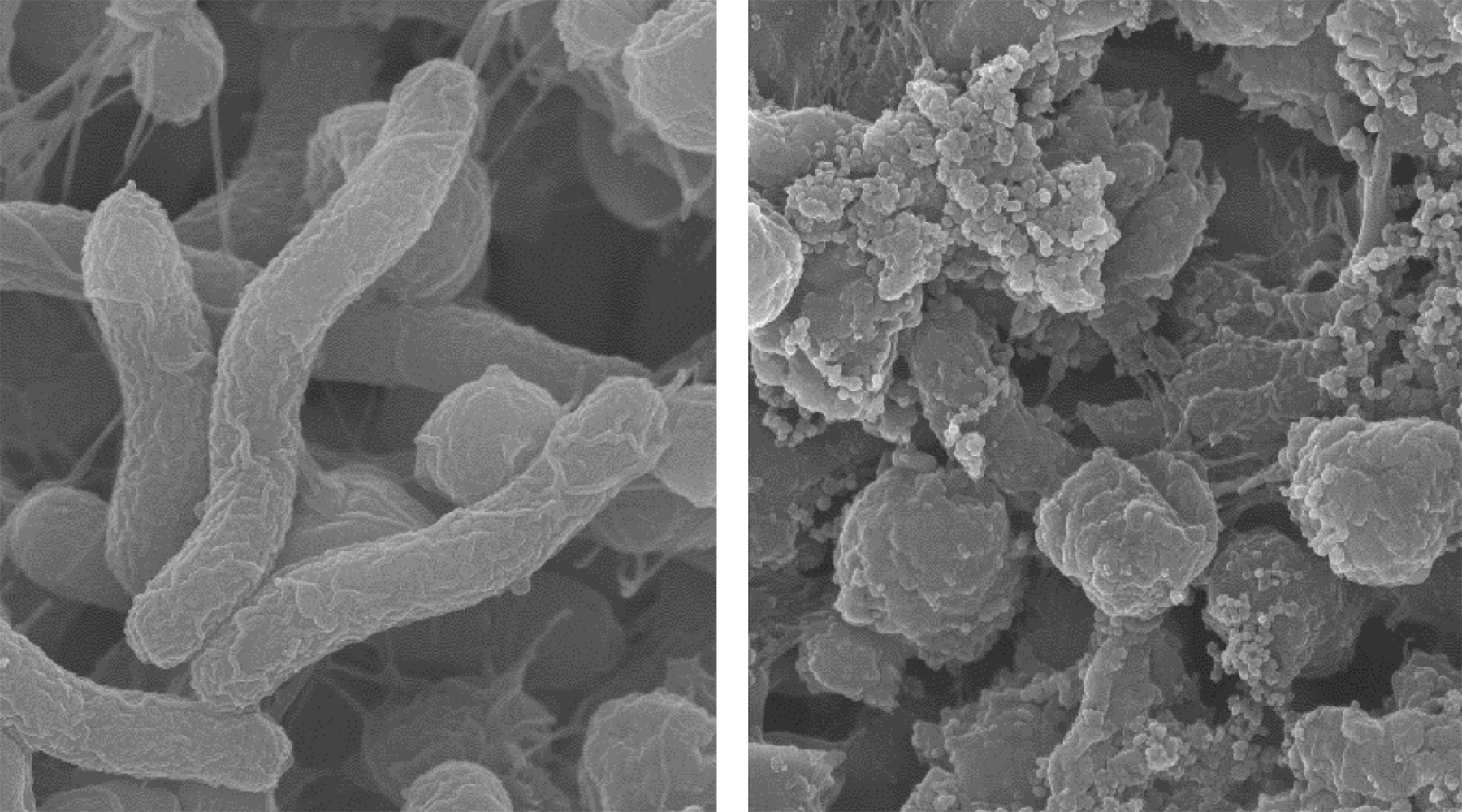 At normal tissue pH (left), the agent does not kill bacteria. But in an acidic environment (right), it disrupts the H. pylori bacteria's membranes to kill it. Photo courtesy of Jianjun Cheng
