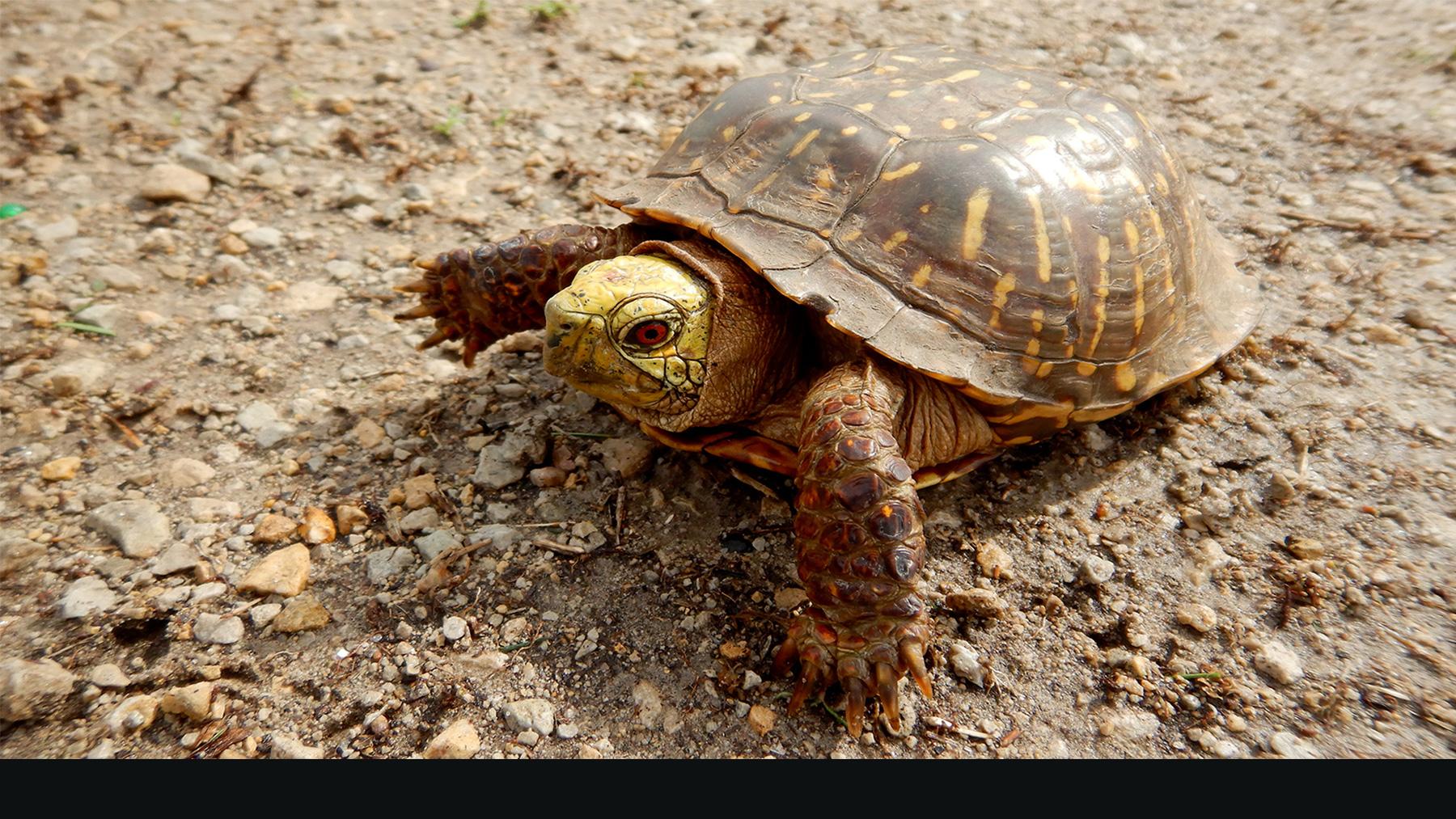 Ornate Turtle. Photo by Devin Edmonds