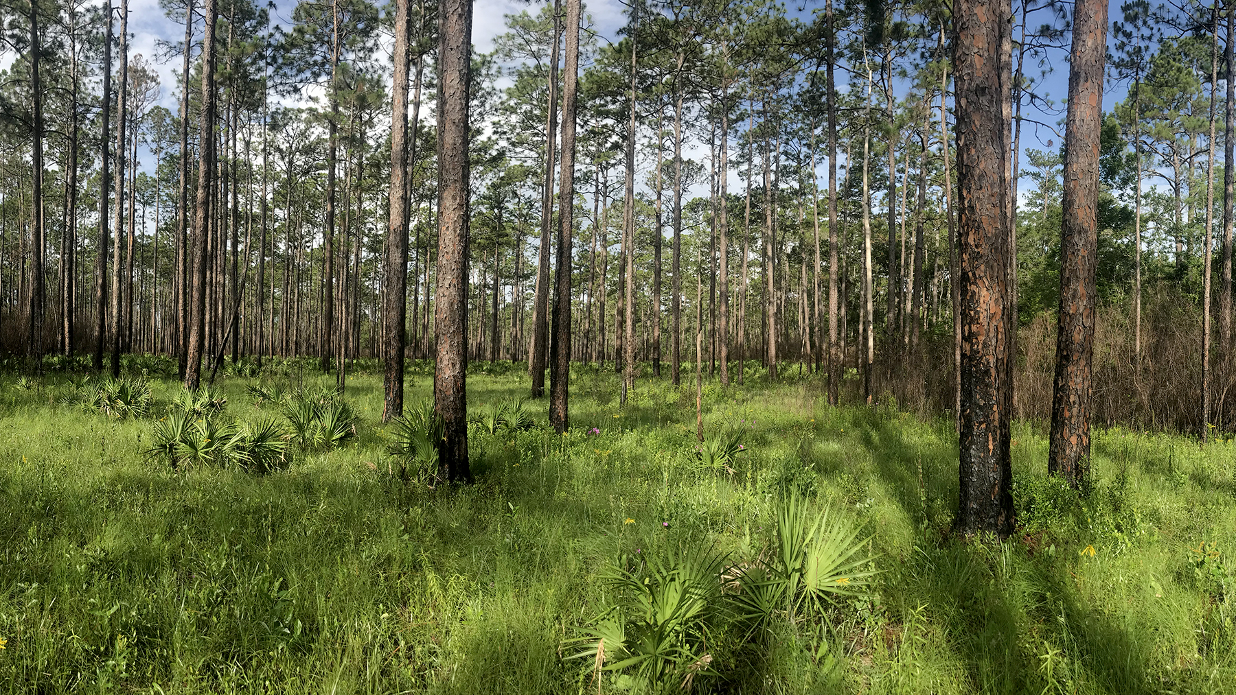 3.	Wildflowers bloom in the recently burned understory of the pine flatwoods of Floridas Apalachicola National Forest.