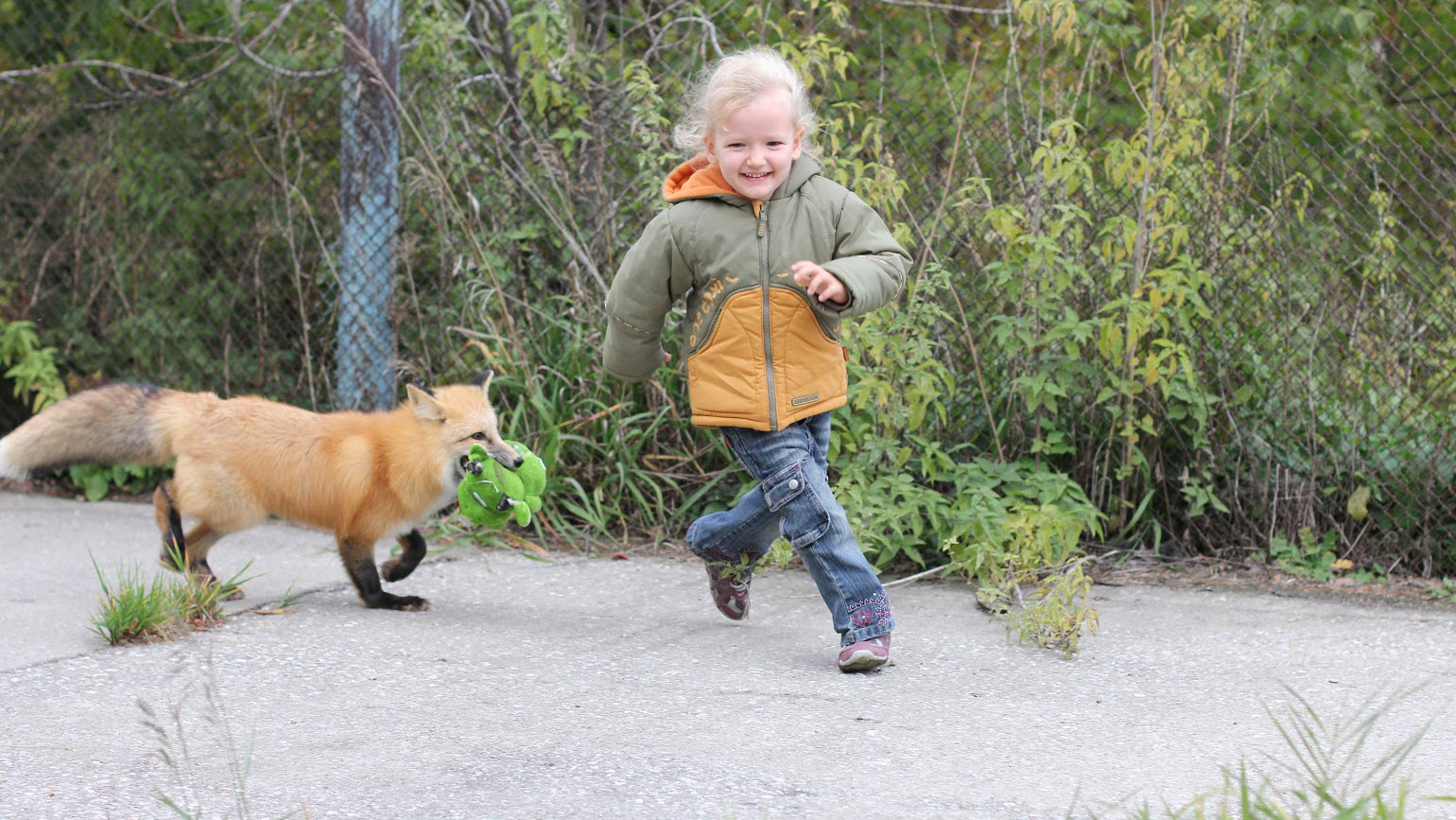 Child plays with tame fox at Russian Institute of Cytology and Genetics in Novosibirsk. Photo courtesy of Darya Shepeleva, scientist at the Institute.