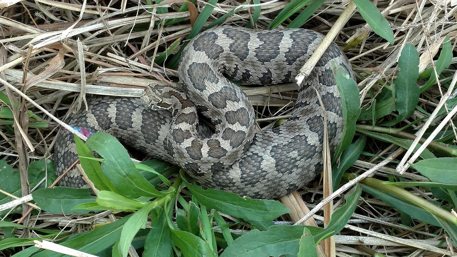Massasauga Rattlesnake image courtesy of Michael Dreslik