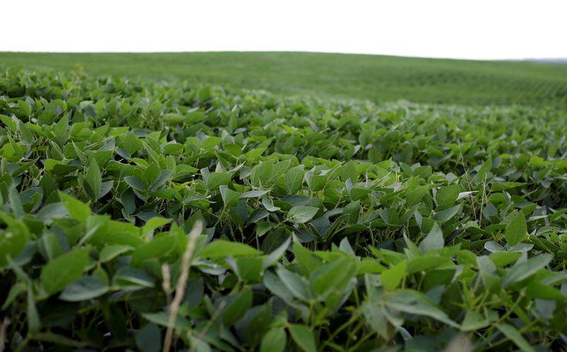 Soybeans grow in a field in Bellevue, Iowa, U.S., July 26, 2018. REUTERS/Joshua Lott