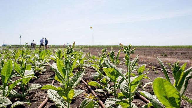soybean field. Photo couresy RIPE/University of Illinois