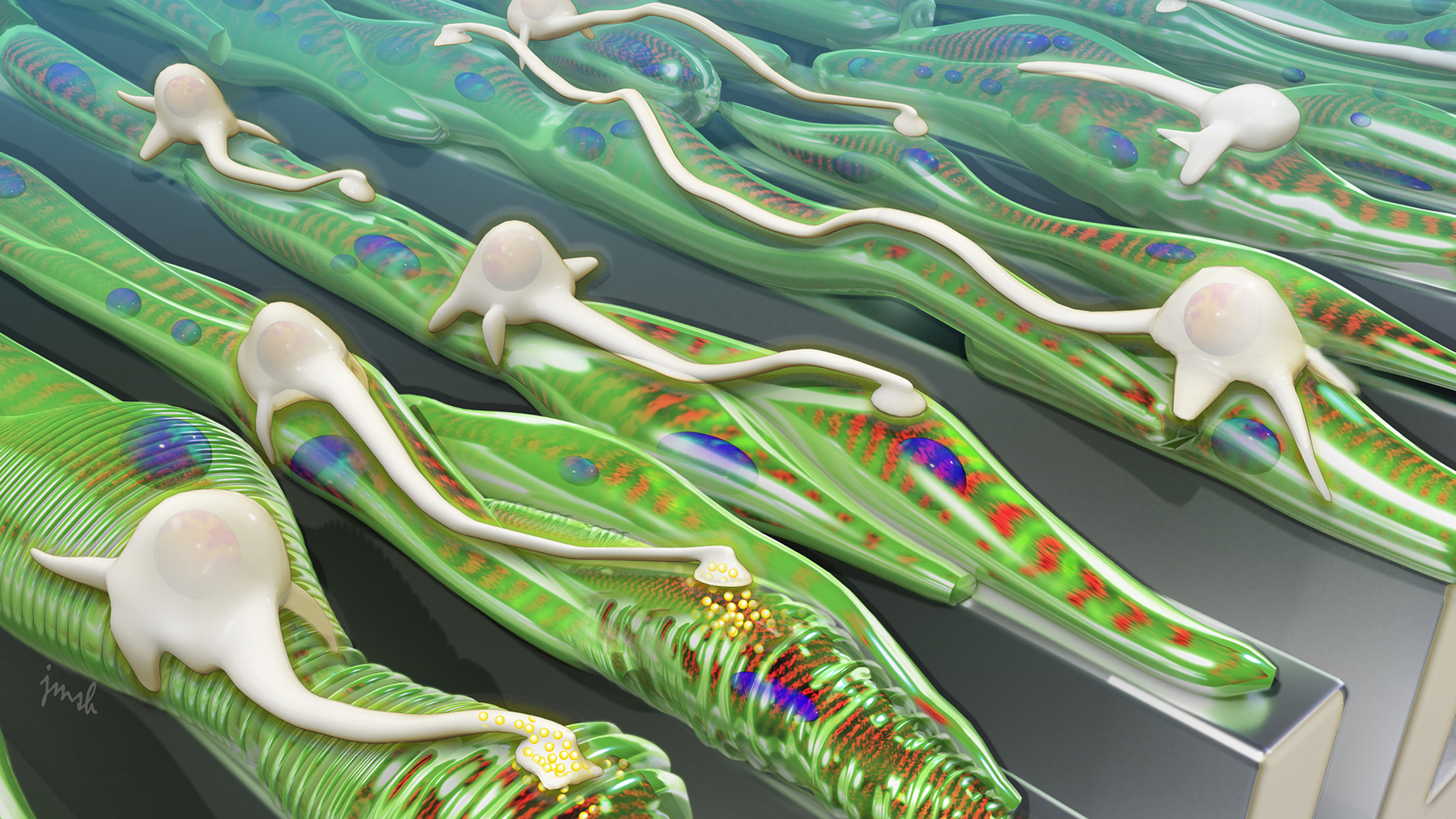 artist's rendering showing grooved surfaces help muscle grow into aligned fibers, which provides a track for neurons to follow