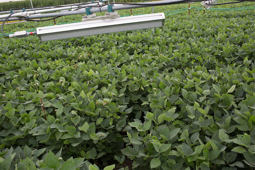 Soybeans grow under heaters used to mimic futuristic conditions